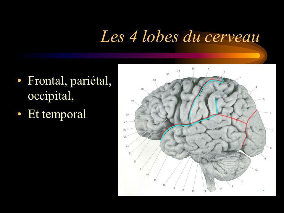 Les 4 lobes du cerveau Frontal, pariétal, occipital, Et temporal