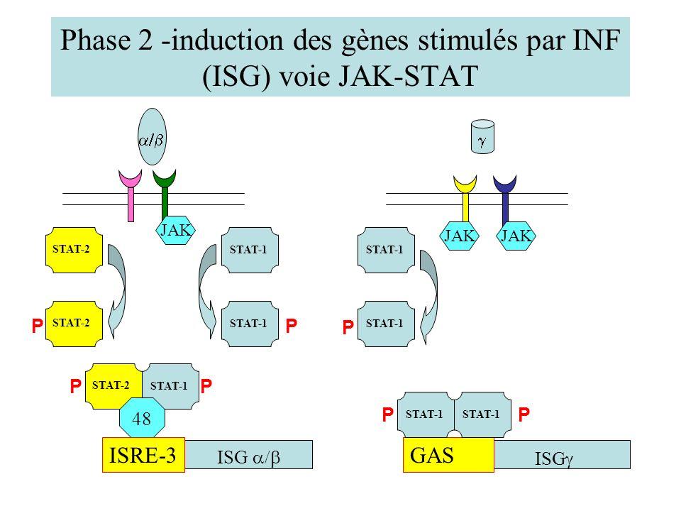 Phase 2 -induction des gènes stimulés par INF (ISG) voie JAK-STAT