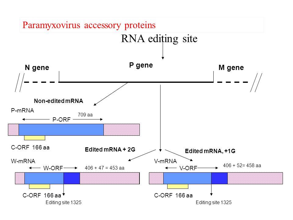 RNA editing site Paramyxovirus accessory proteins P gene N gene M gene