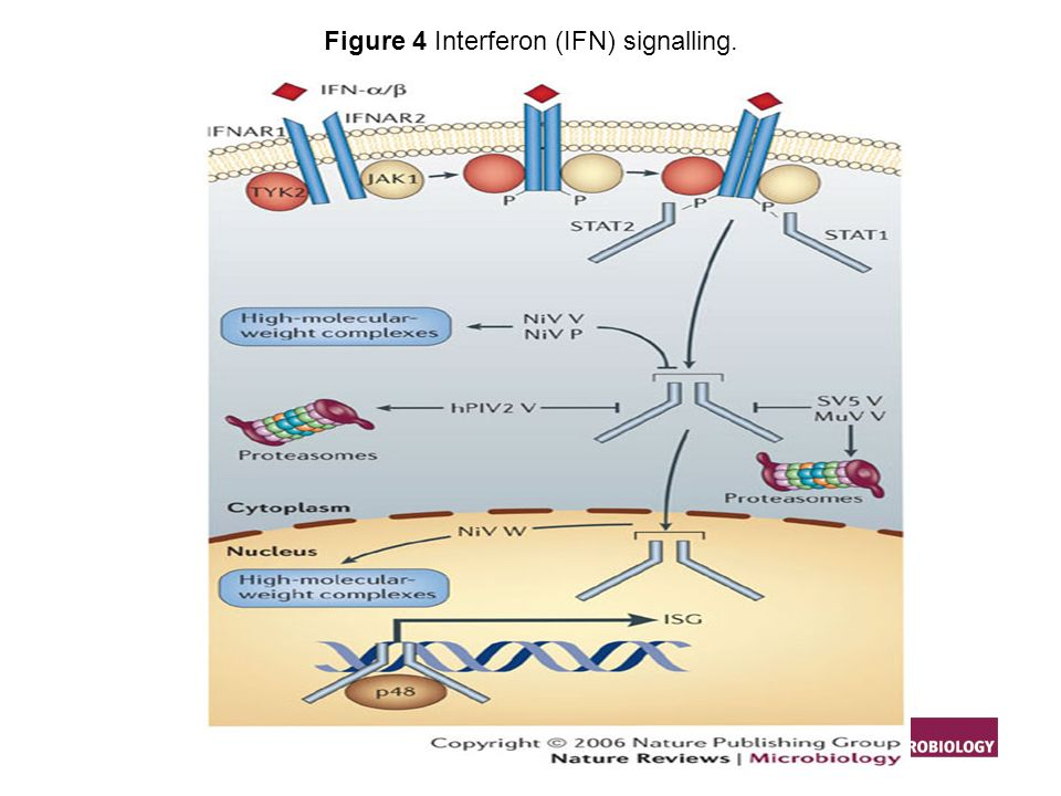 Figure 4 Interferon (IFN) signalling.