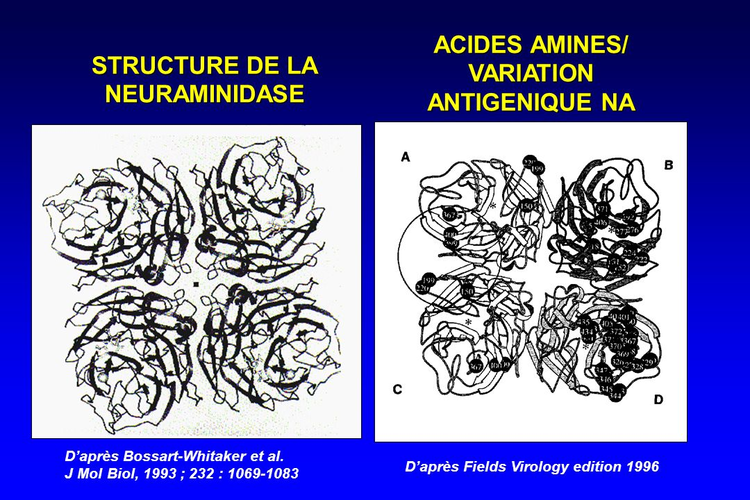 STRUCTURE DE LA NEURAMINIDASE