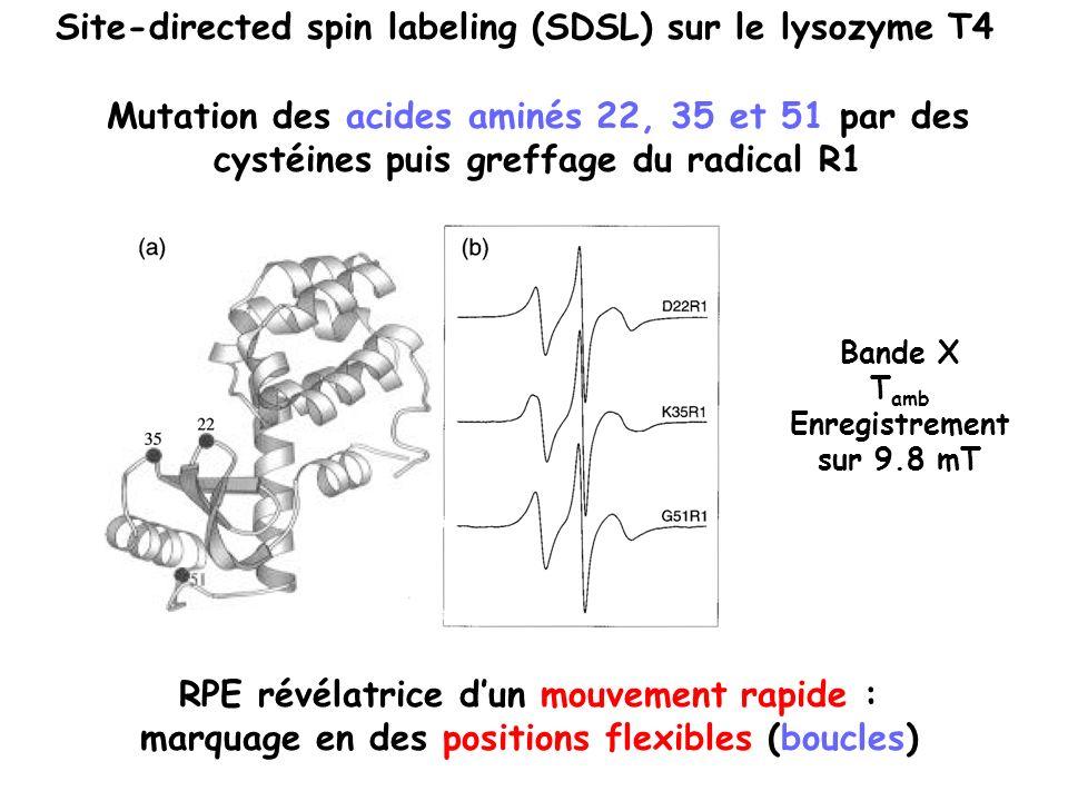 Site-directed spin labeling (SDSL) sur le lysozyme T4