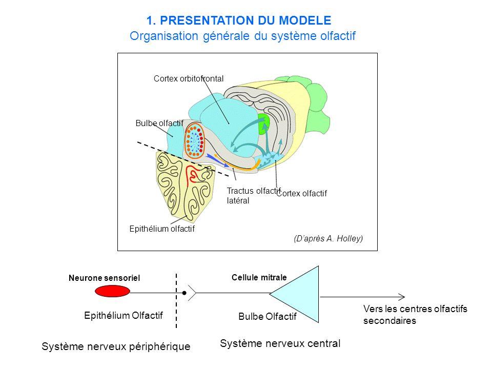 1. PRESENTATION DU MODELE Organisation générale du système olfactif
