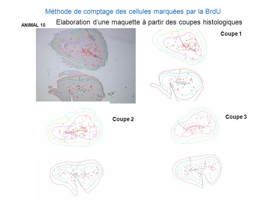 Méthode de comptage des cellules marquées par la BrdU