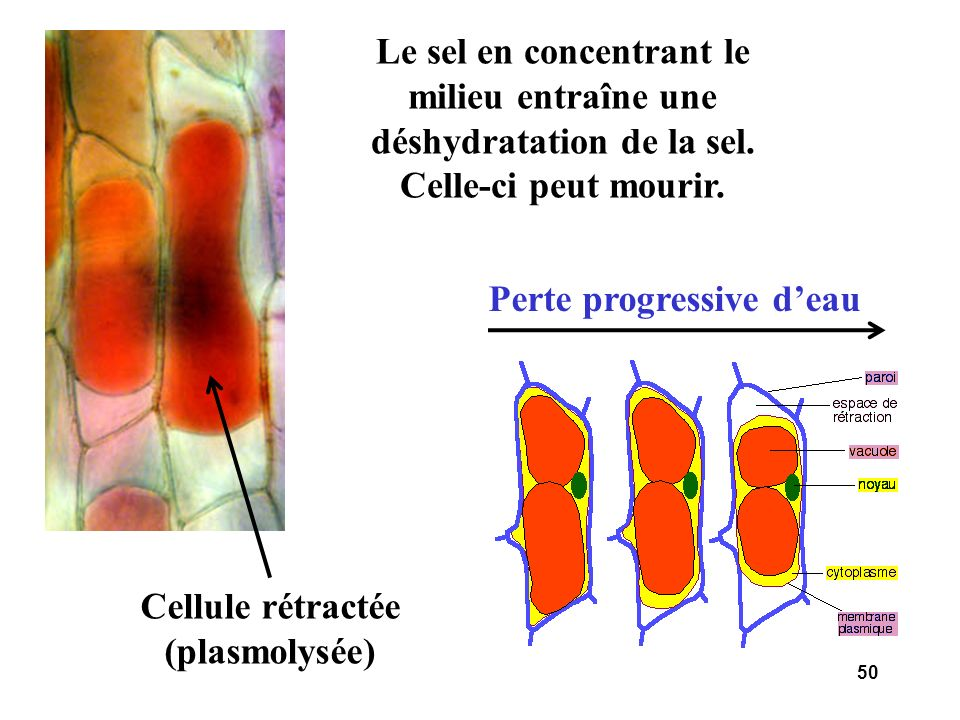 Perte progressive d'eau Cellule rétractée (plasmolysée)