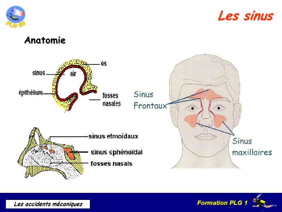 Les sinus Anatomie a) Rappel anatomique