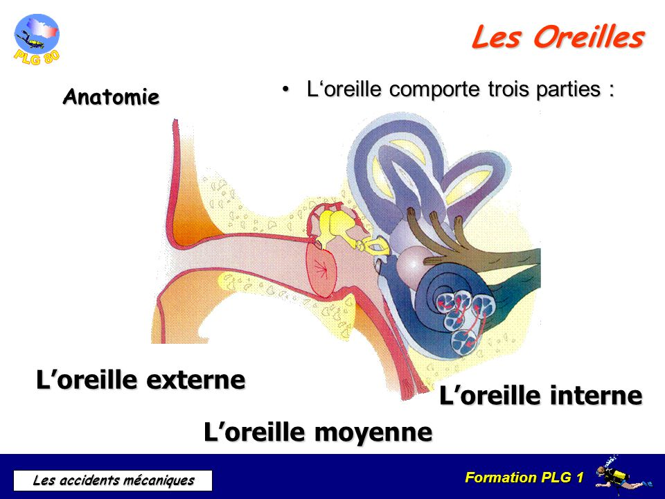 Les Oreilles L'oreille externe L'oreille interne L'oreille moyenne