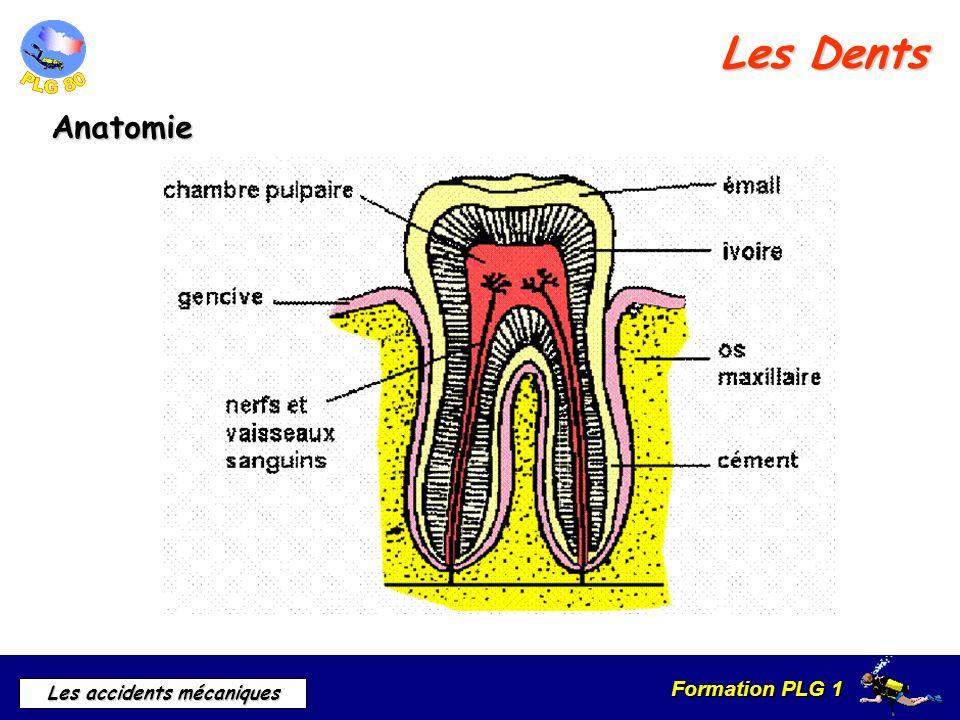 Les Dents Anatomie.