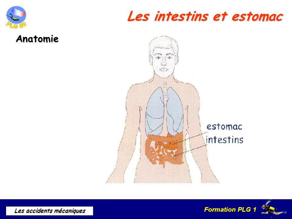 Les intestins et estomac