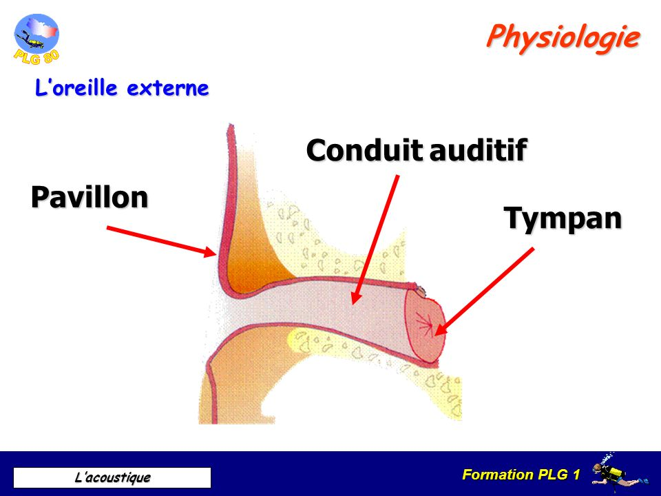 Physiologie Conduit auditif Pavillon Tympan L'oreille externe