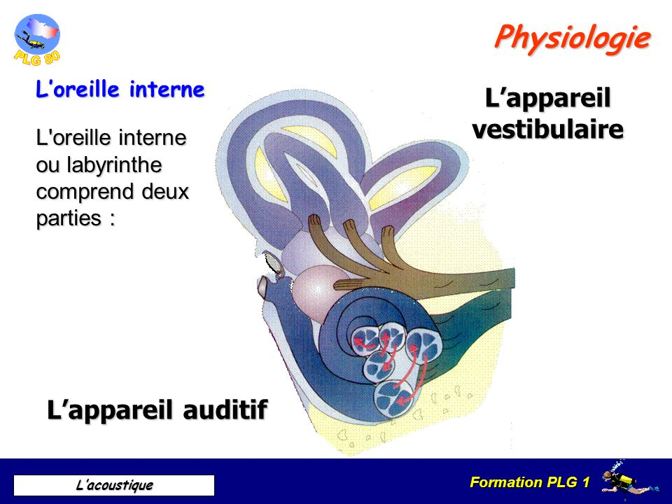 L'appareil vestibulaire