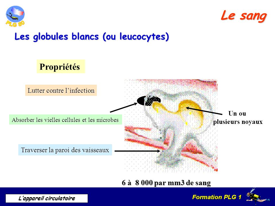 Le sang Les globules blancs (ou leucocytes) Propriétés