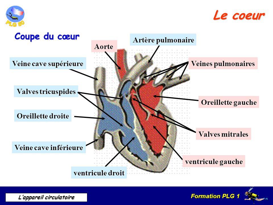 Le coeur Coupe du cœur Artère pulmonaire Aorte Veine cave supérieure