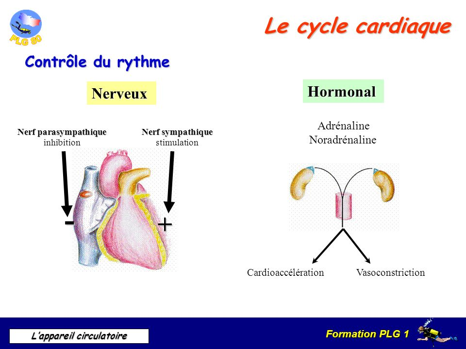 - + Le cycle cardiaque Contrôle du rythme Hormonal Nerveux Adrénaline