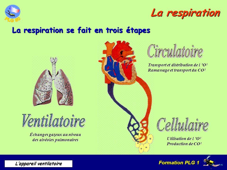 Échanges gazeux au niveau des alvéoles pulmonaires
