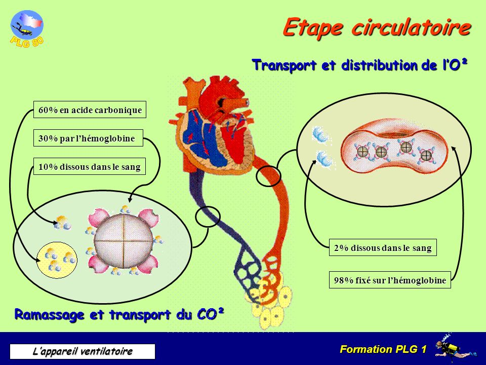 Etape circulatoire Transport et distribution de l'O²