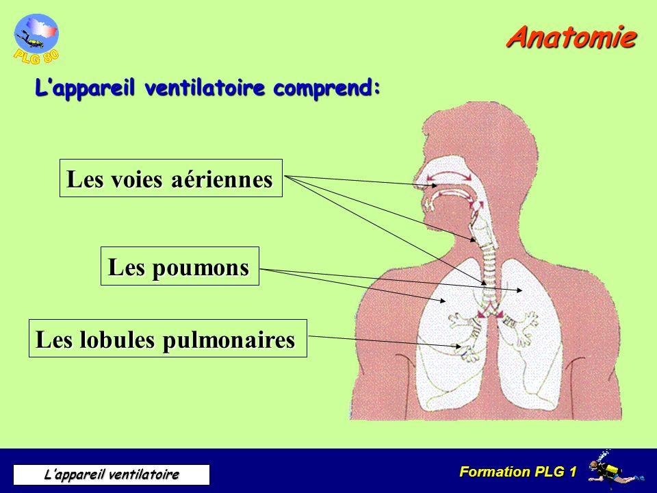 Anatomie Les voies aériennes Les poumons Les lobules pulmonaires