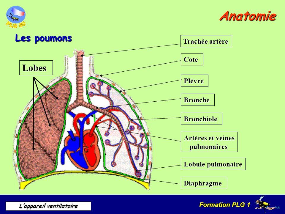 Anatomie Les poumons Lobes Trachée artère Cote Plèvre Bronche