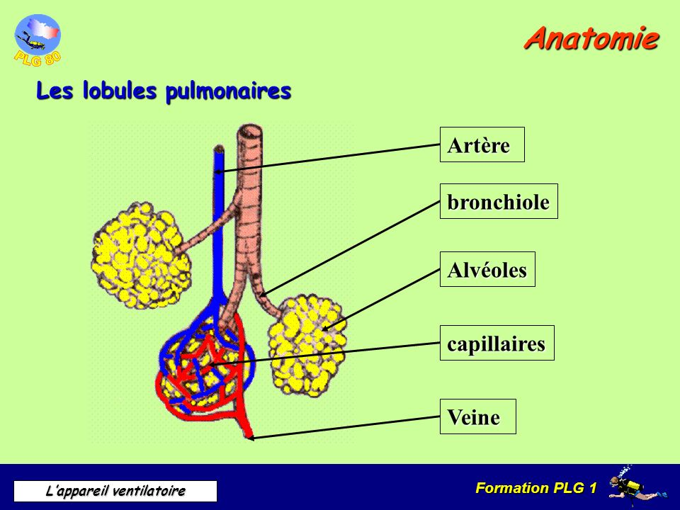 Anatomie Les lobules pulmonaires Artère bronchiole Alvéoles