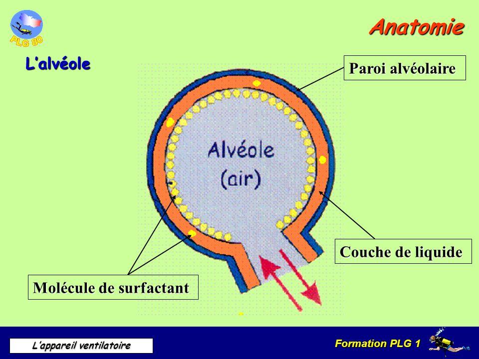 Anatomie L'alvéole Paroi alvéolaire Couche de liquide