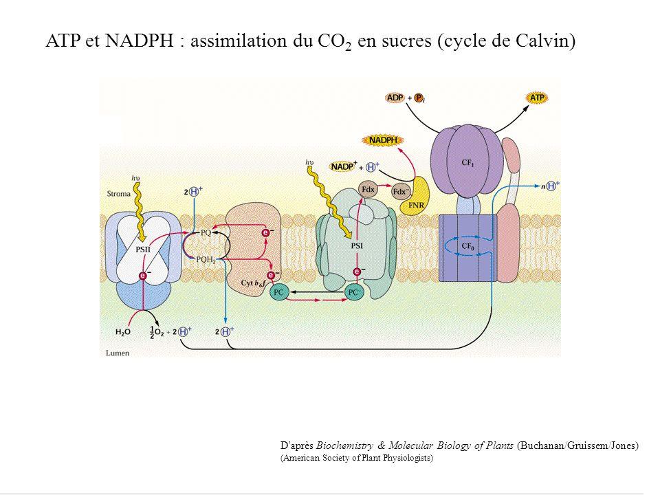 ATP et NADPH : assimilation du CO2 en sucres (cycle de Calvin)