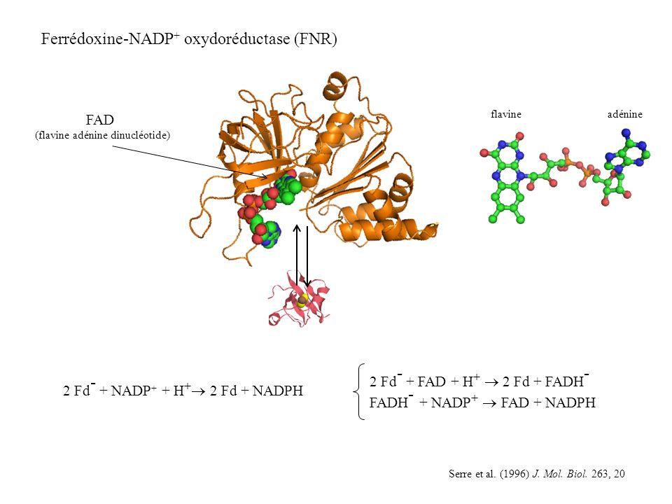 (flavine adénine dinucléotide)
