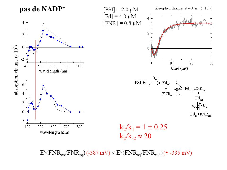 pas de NADP+ k2/k1 = 1  0.25 k2/k-2  20