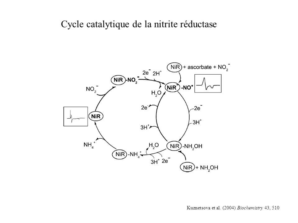 Cycle catalytique de la nitrite réductase