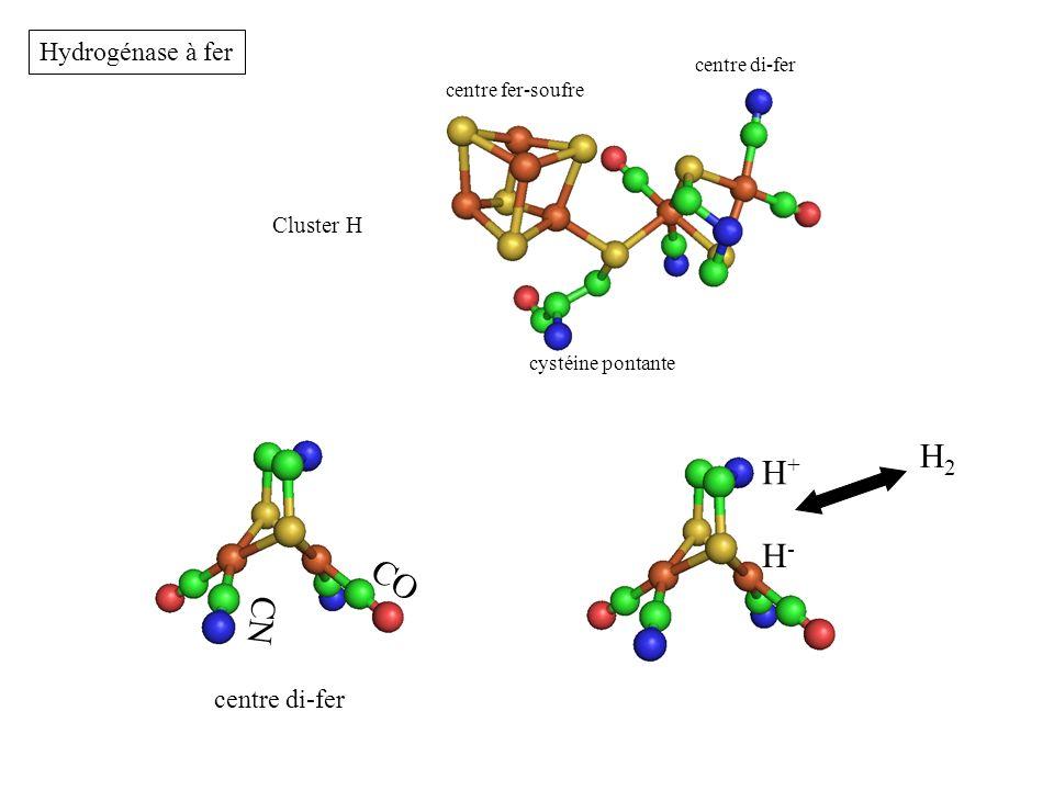 H2 H+ H- CO CN Hydrogénase à fer centre di-fer Cluster H centre di-fer