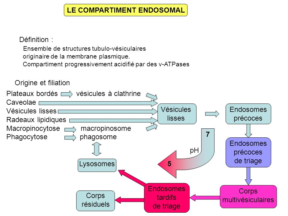 LE COMPARTIMENT ENDOSOMAL