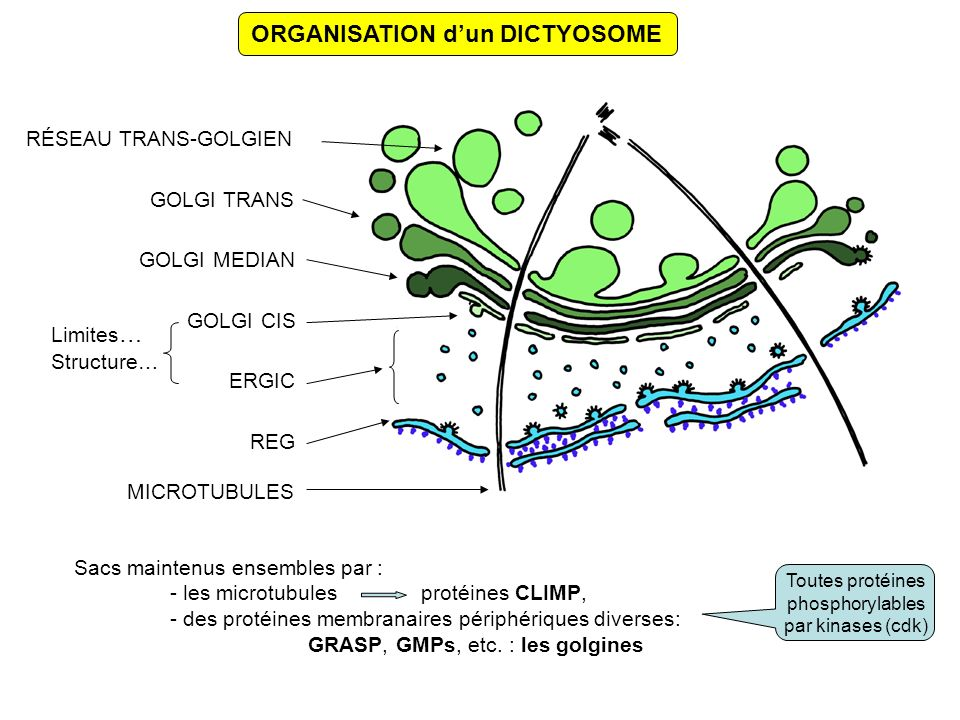ORGANISATION d'un DICTYOSOME