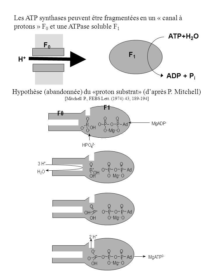 Hypothèse (abandonnée) du «proton substrat» (d'après P. Mitchell)