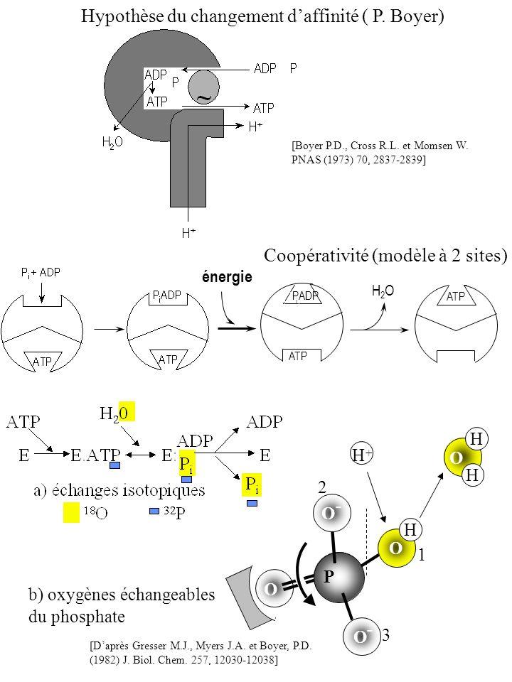 Hypothèse du changement d'affinité ( P. Boyer)