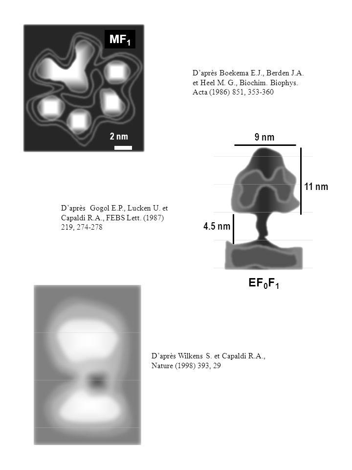 MF1 D'après Boekema E.J., Berden J.A. et Heel M. G., Biochim. Biophys. Acta (1986) 851, 353-360. 2 nm.