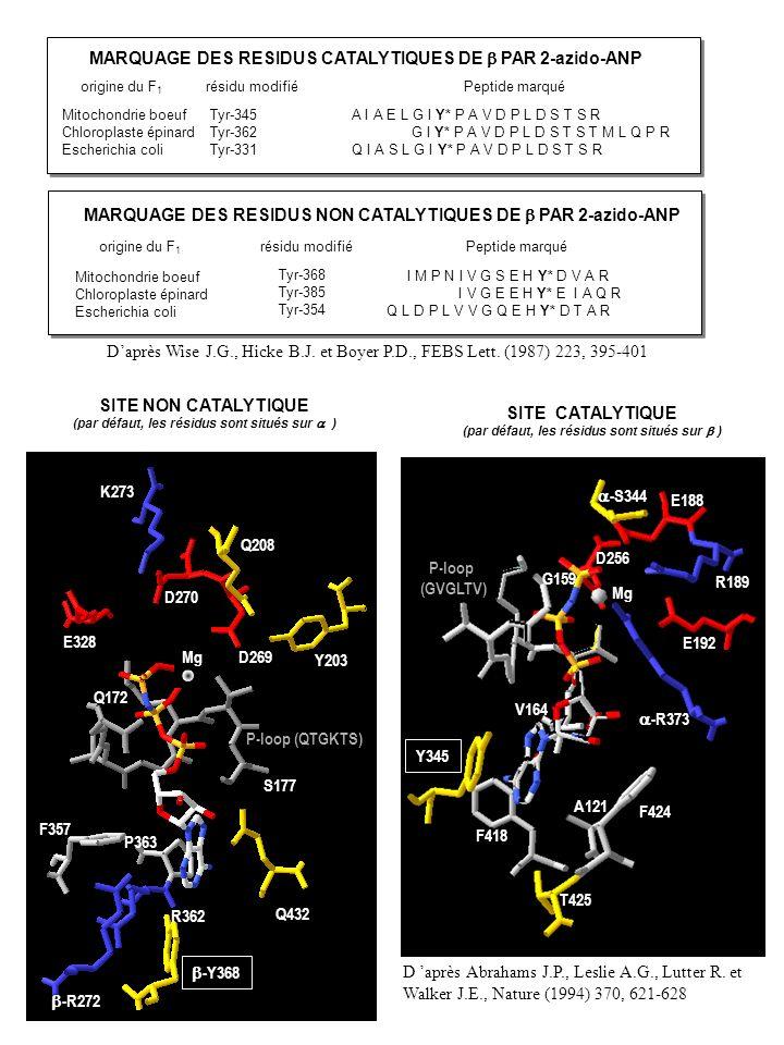 MARQUAGE DES RESIDUS CATALYTIQUES DE b PAR 2-azido-ANP