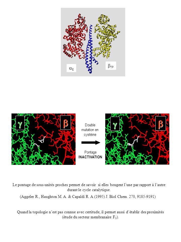 Double mutation en cystéine