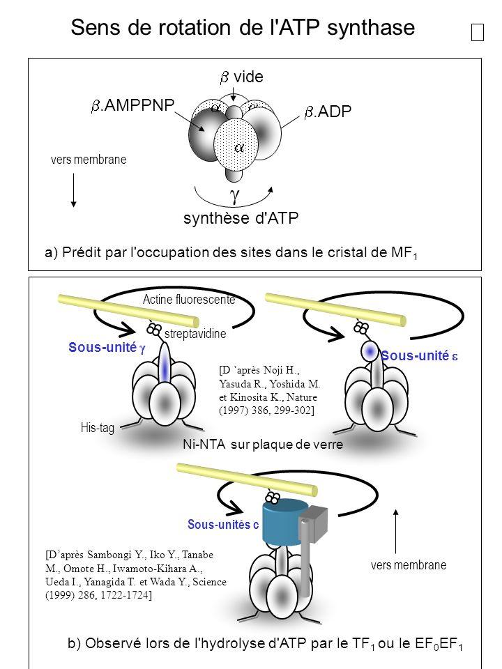 b) Observé lors de l hydrolyse d ATP par le TF1 ou le EF0EF1