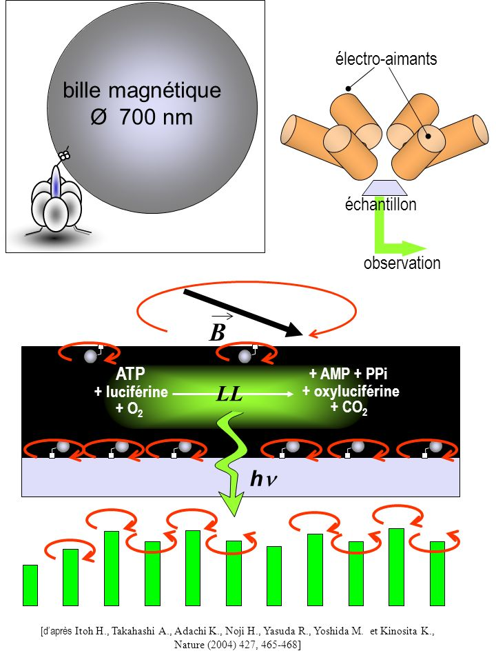 B bille magnétique Ø 700 nm LL hn échantillon observation