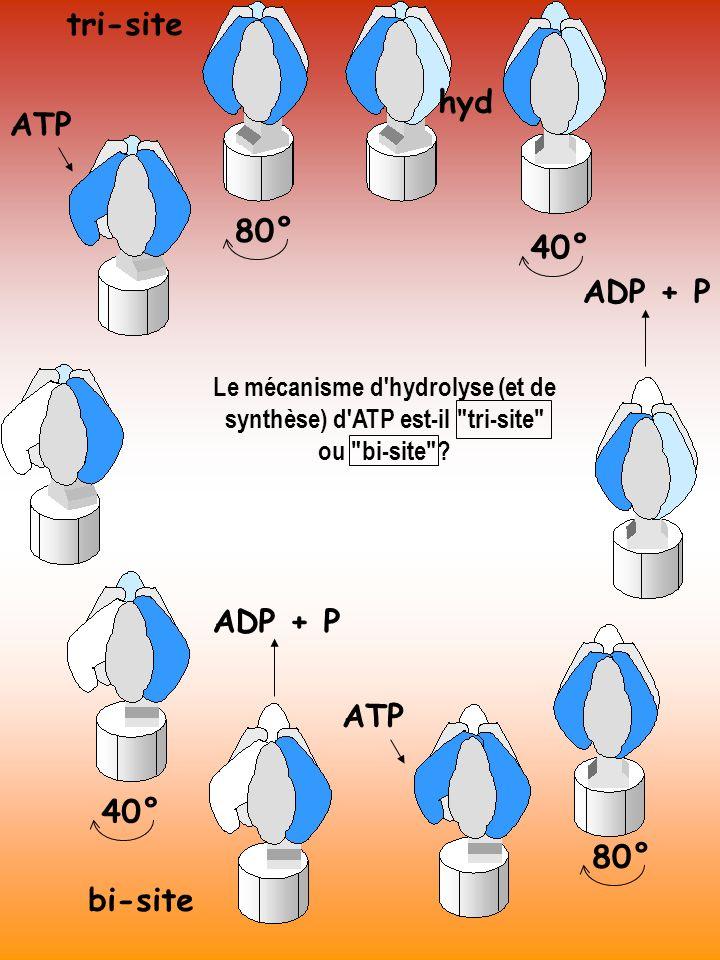 tri-site hyd ATP 80° 40° ADP + P ADP + P ATP 40° 80° bi-site