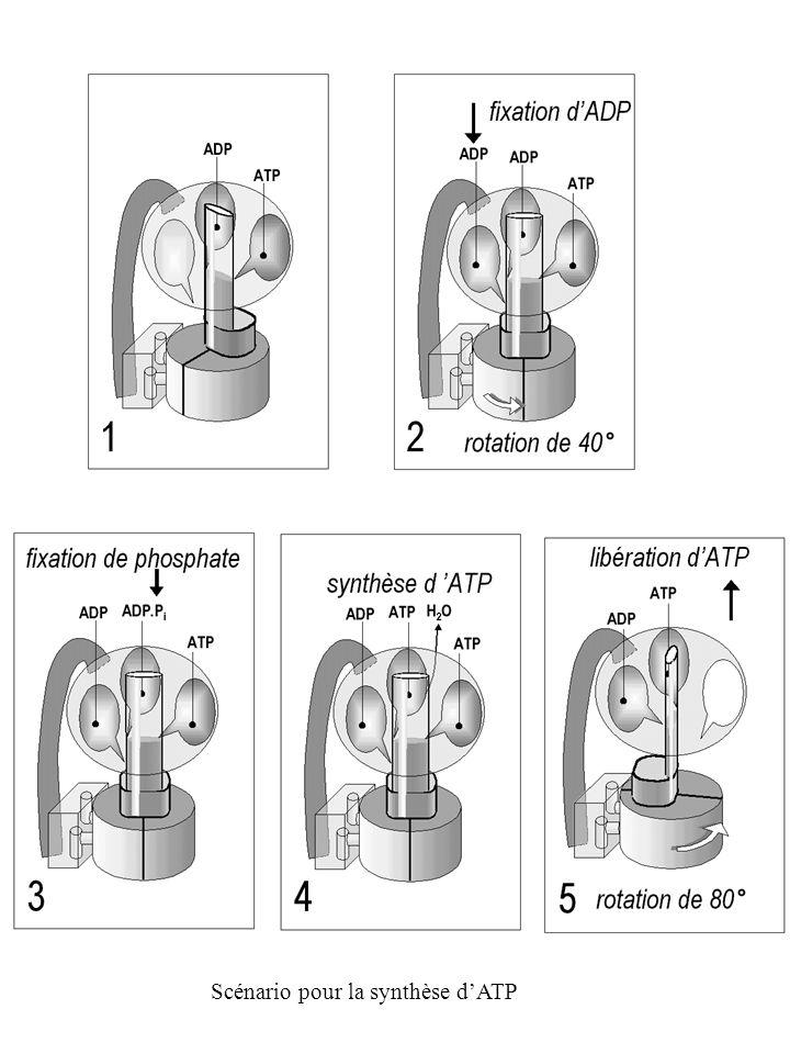 Scénario pour la synthèse d'ATP