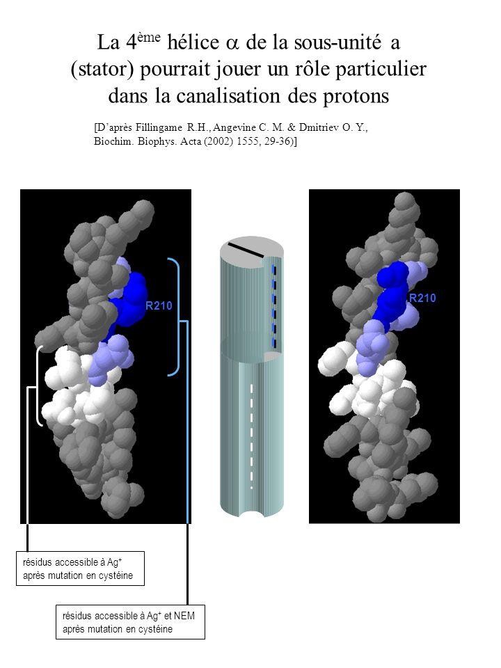 La 4ème hélice a de la sous-unité a (stator) pourrait jouer un rôle particulier dans la canalisation des protons