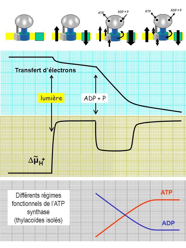 Différents régimes fonctionnels de l'ATP synthase