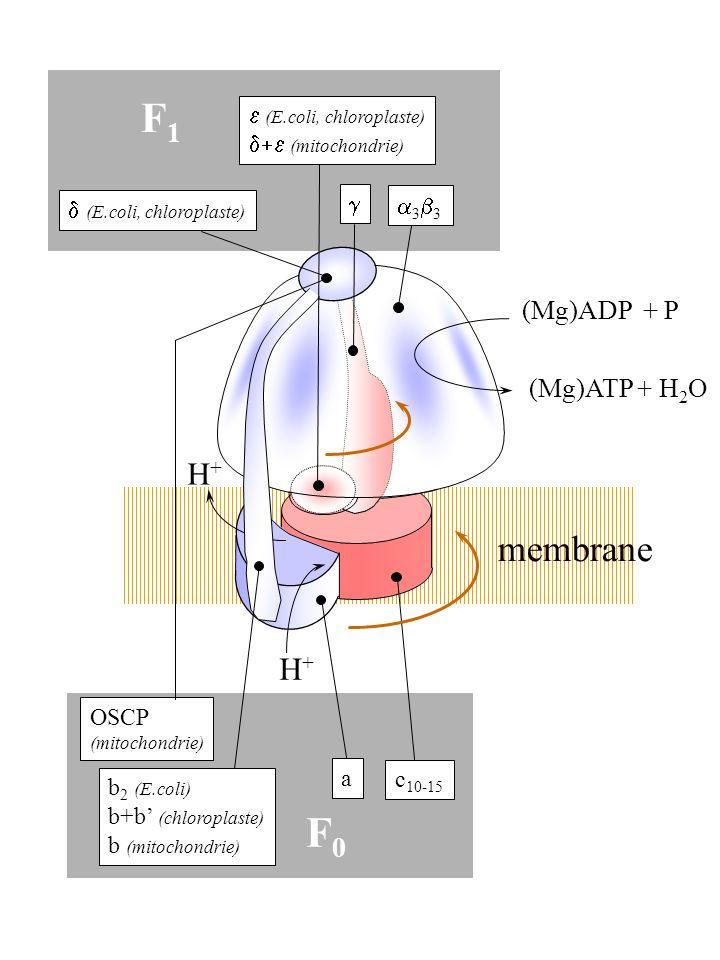 F1 F0 membrane H+ H+ (Mg)ADP + P (Mg)ATP + H2O