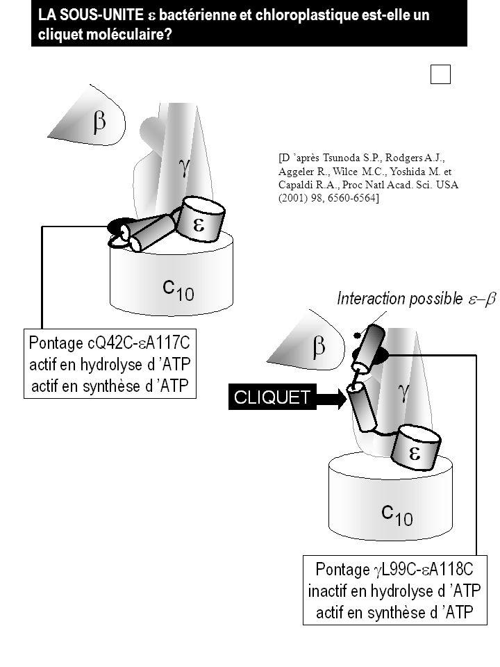 LA SOUS-UNITE e bactérienne et chloroplastique est-elle un cliquet moléculaire