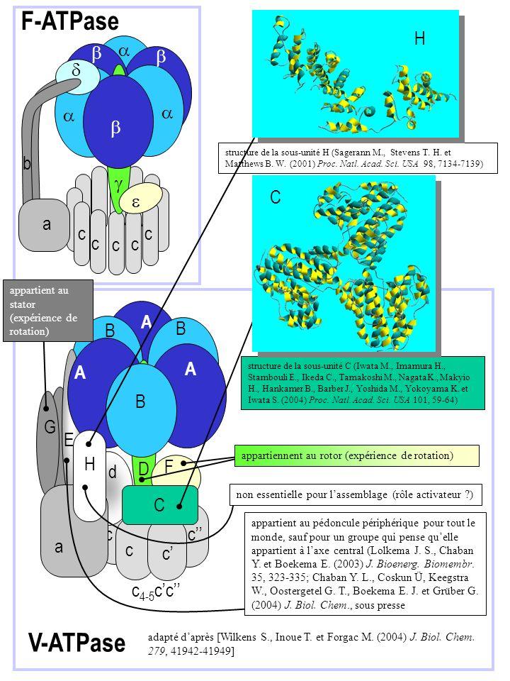 F-ATPase V-ATPase H d a b g C e c A B G E H D F d C c c'' a c'