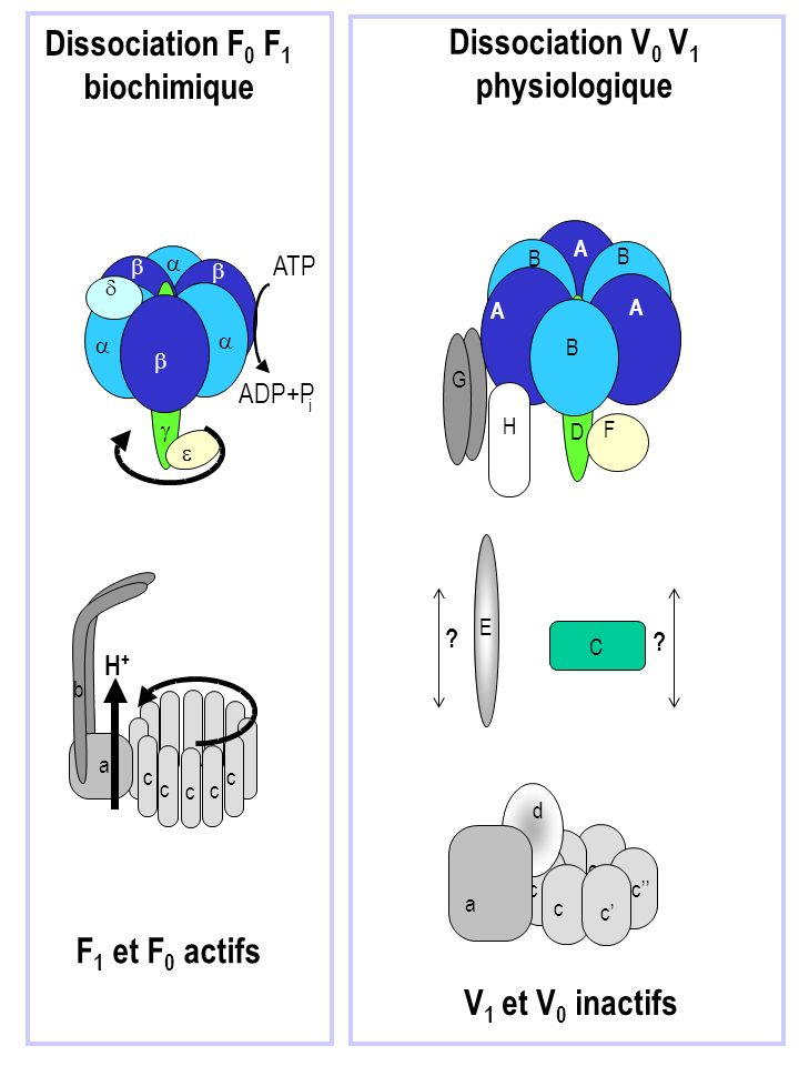 Dissociation F0 F1 biochimique Dissociation V0 V1 physiologique