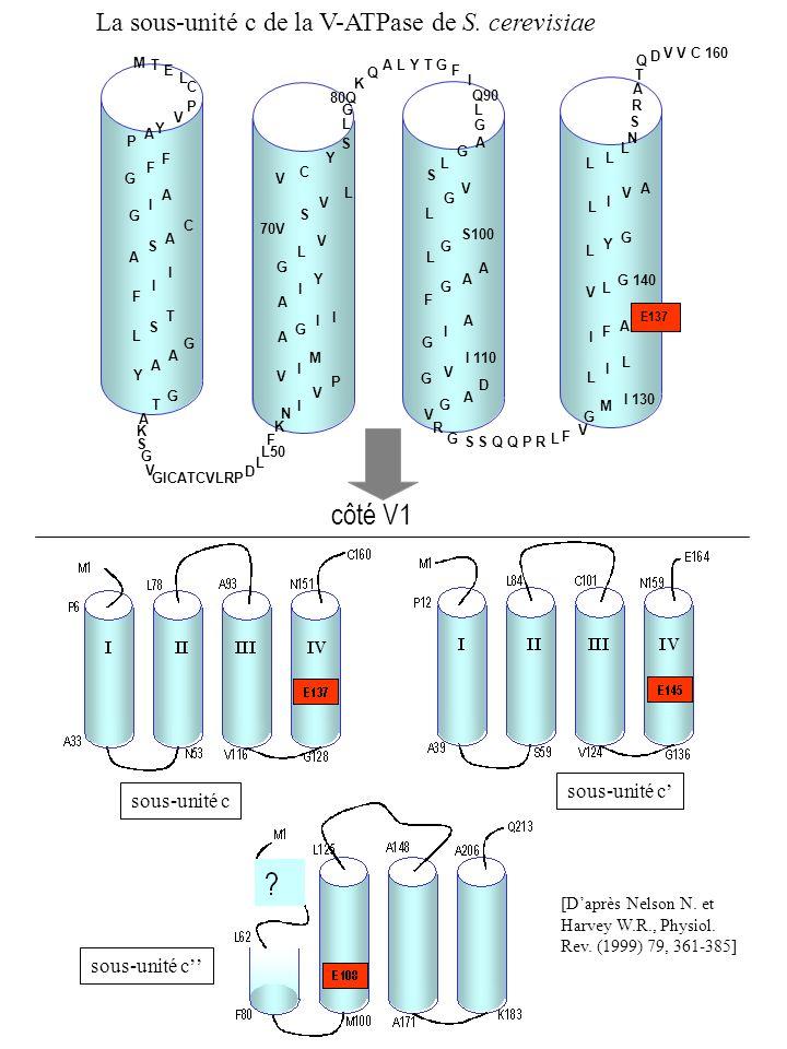 côté V1 La sous-unité c de la V-ATPase de S. cerevisiae sous-unité c'