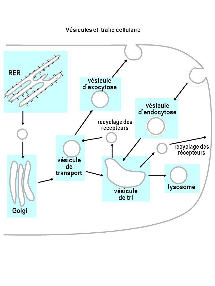vésicule d'endocytose