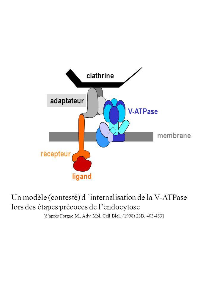 clathrine adaptateur V-ATPase membrane récepteur ligand