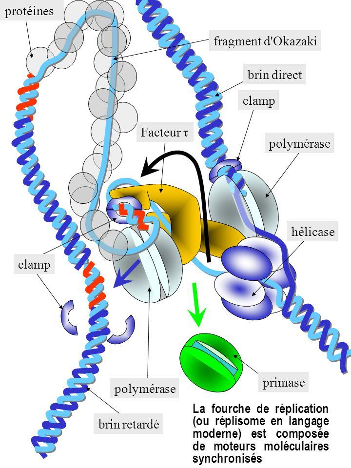 protéines fragment d Okazaki. brin direct. clamp. Facteur t. polymérase. hélicase. clamp. primase.